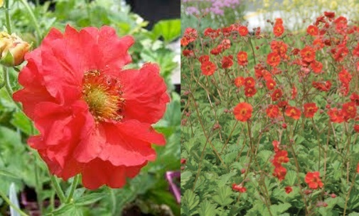 Geum chiloense double bloody mary stonepocket know what you grow description low clumping perennial with coarse green leaves branching stems are held above foliage bearing double red flowering blooming in mightylinksfo