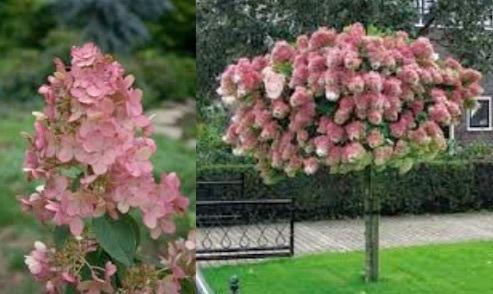 Hydrangea paniculata 'Interhydia' PINK DIAMOND - Stonepocket ...